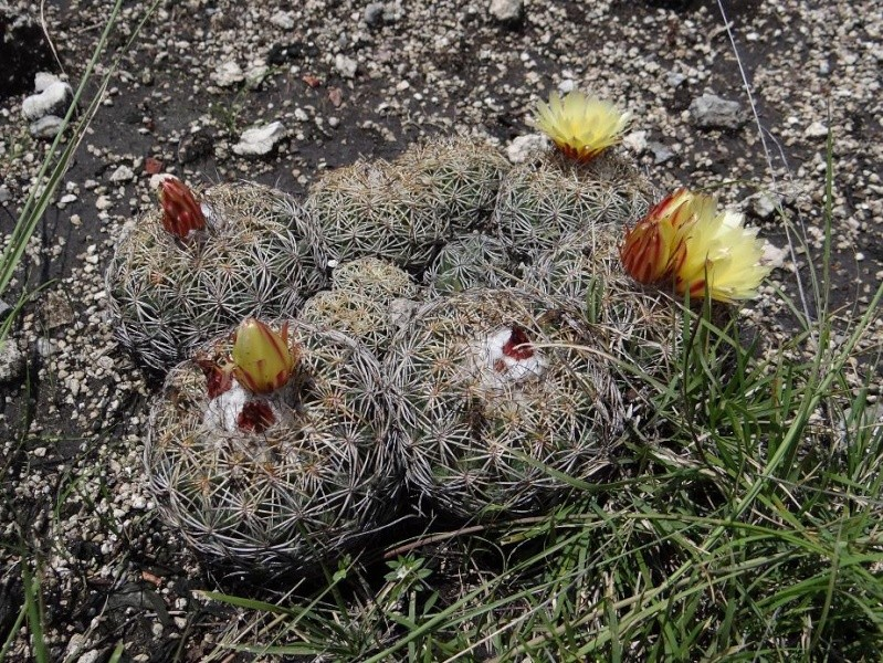 Several Mexican Mam/Coryphantha ID's needed Coryph11