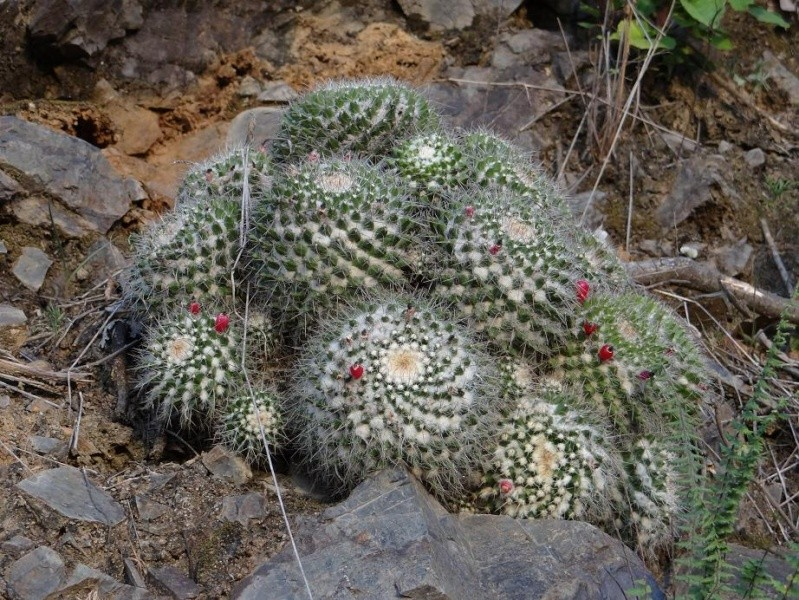 Several Mexican Mam/Coryphantha ID's needed Mam_sp10