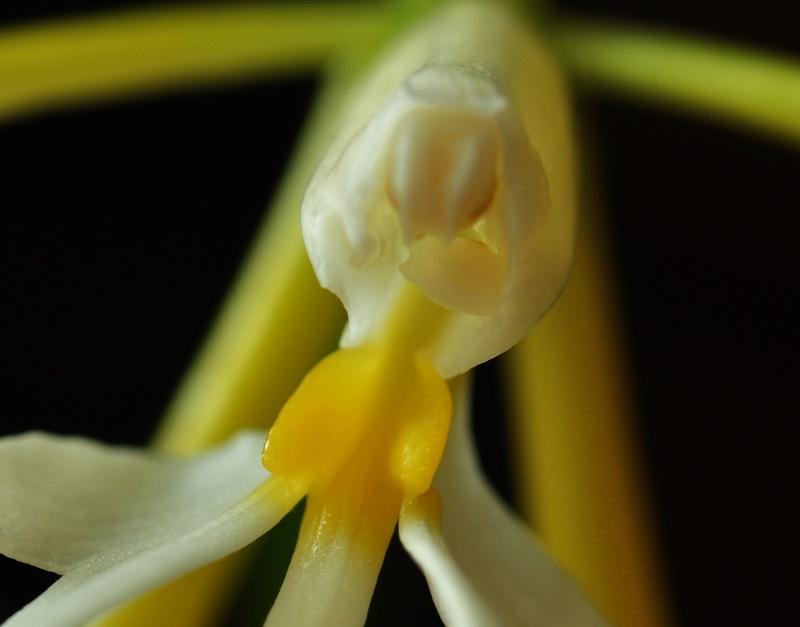 Epidendrum nocturnum 2017-021
