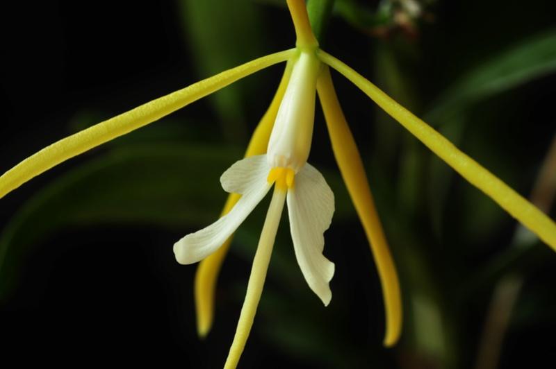 Epidendrum nocturnum 2017-023