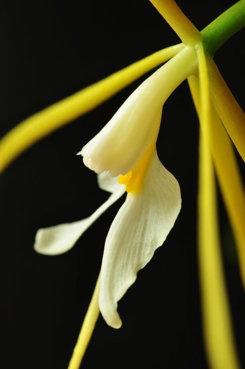 Epidendrum nocturnum 2017-024
