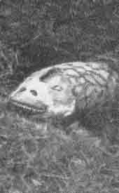 Tatzelwurm 510