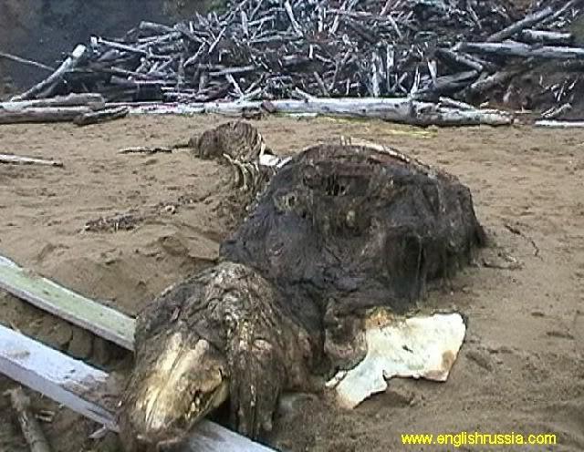 Criatura desconhecida encontrada em Sakhalin - Rússia (Super Post) Monste12