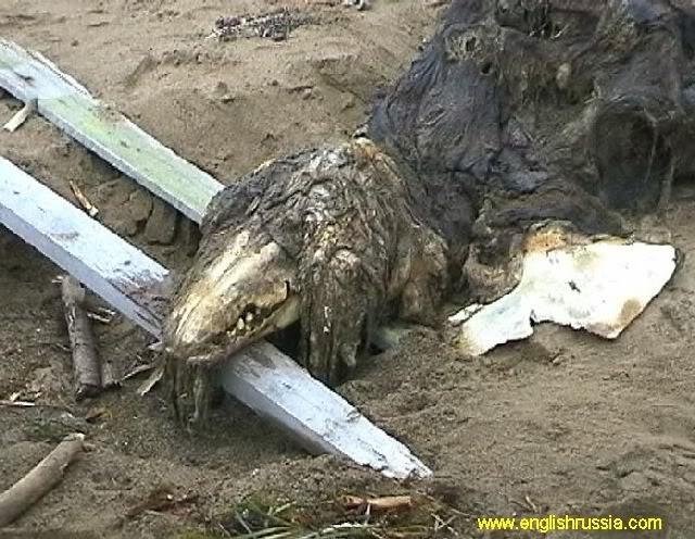 Criatura desconhecida encontrada em Sakhalin - Rússia (Super Post) Monste15