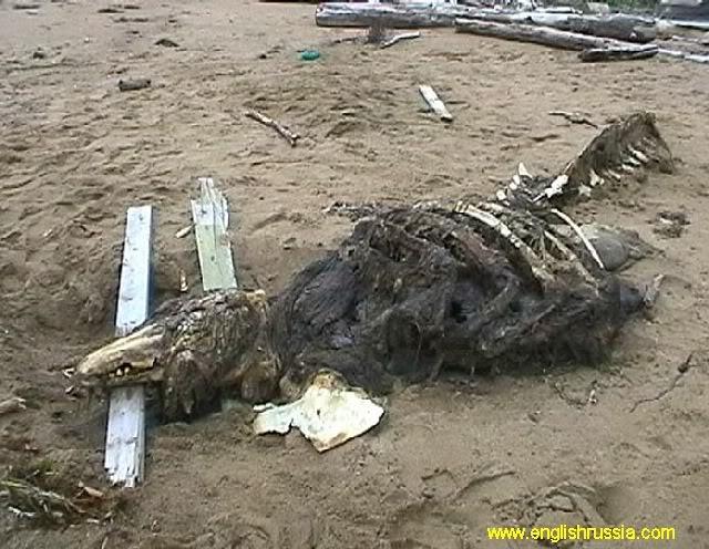Criatura desconhecida encontrada em Sakhalin - Rússia (Super Post) Monste16