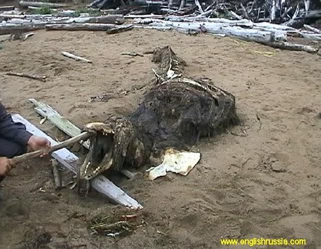 Criatura desconhecida encontrada em Sakhalin - Rússia (Super Post) Monste18
