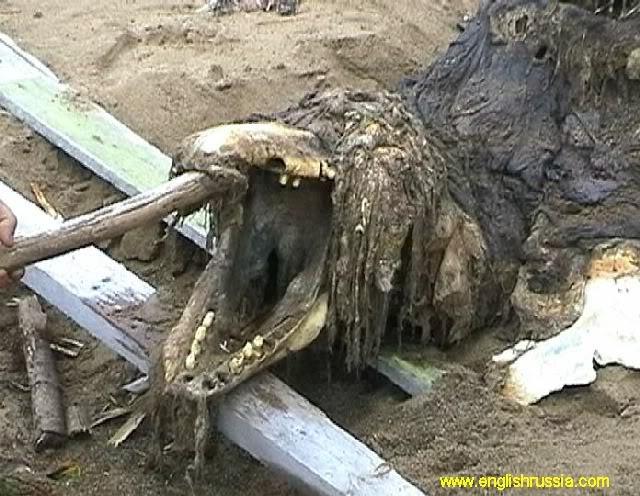 Criatura desconhecida encontrada em Sakhalin - Rússia (Super Post) Monste19
