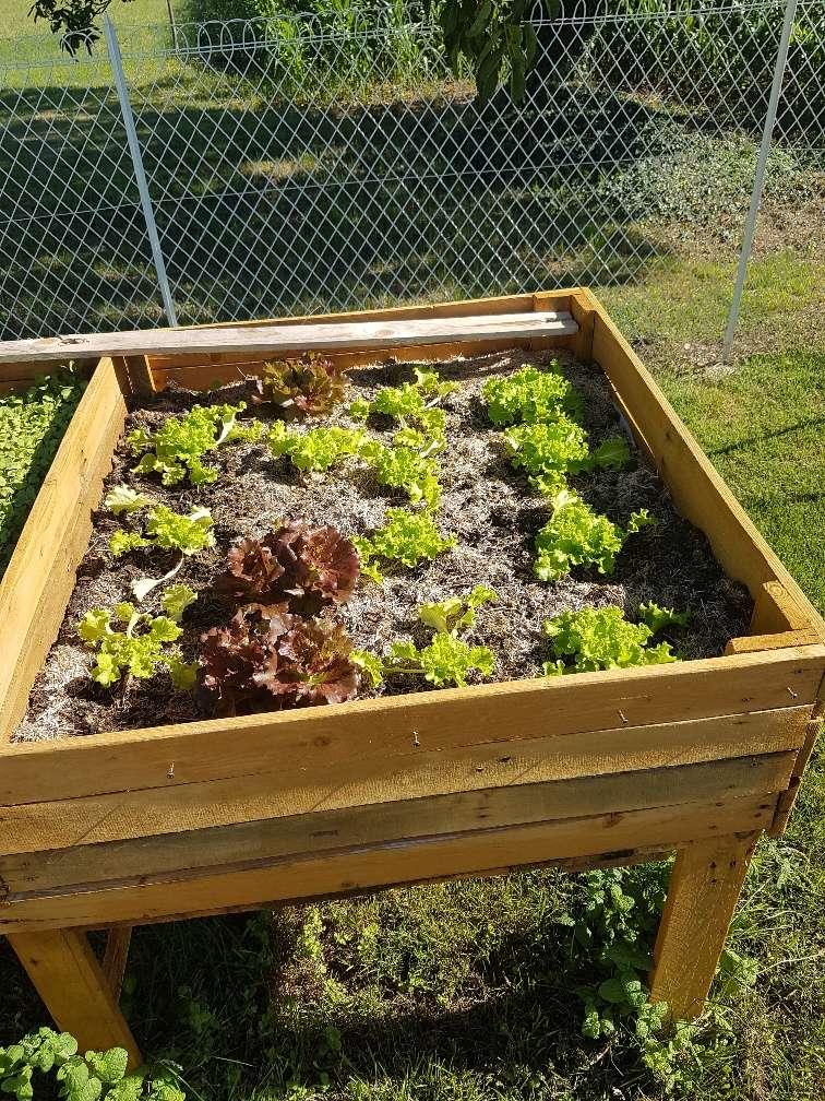 Que se passe t'il au jardin? - Page 3 Salade10