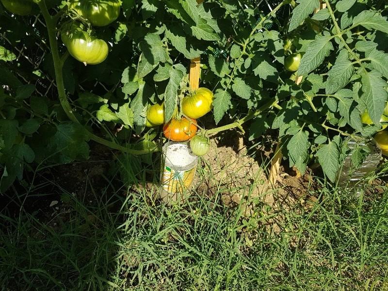 Que se passe t'il au jardin? - Page 3 Tomate10