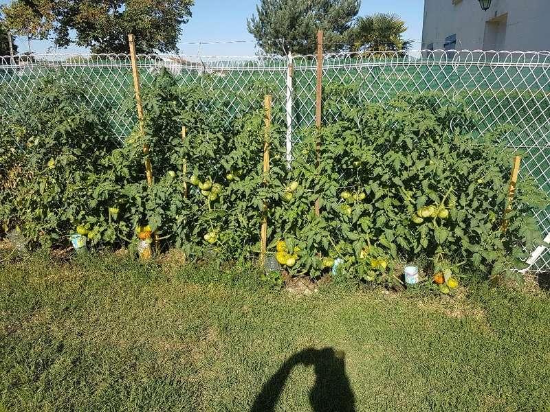 Que se passe t'il au jardin? - Page 3 Tomate11