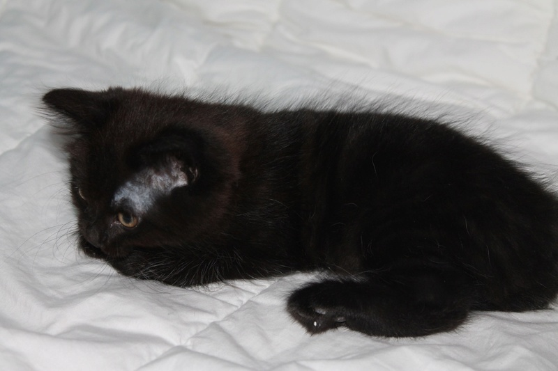 Nesquick - Noir poils longs - Né le 25/06/17 Img_2123