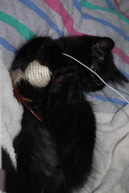 Nesquick - Noir poils longs - Né le 25/06/17 Img_2511