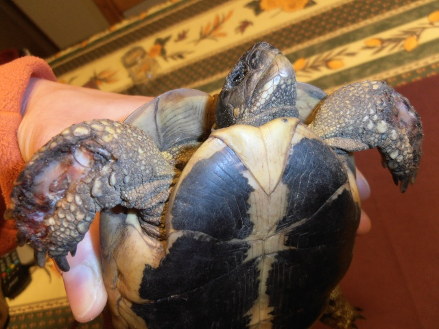 tortue attaquée par un rat ou plusieurs P2060919