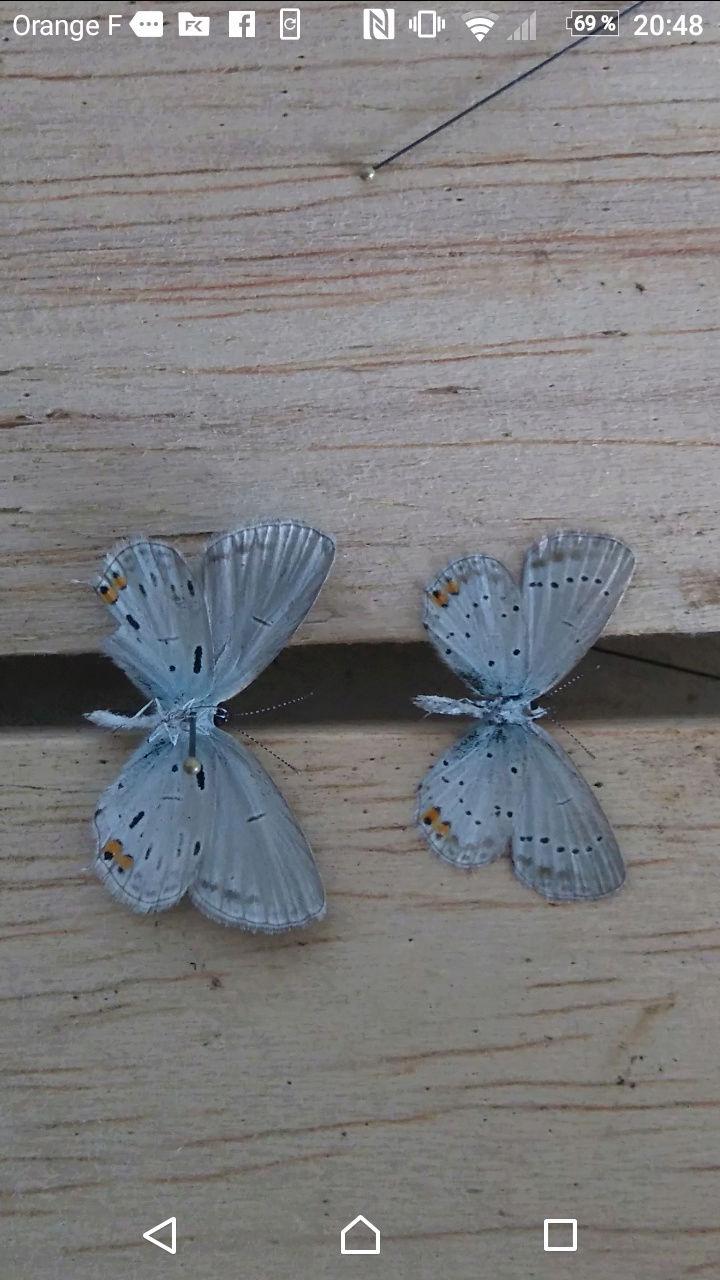 [Cupido argiades & Pyronia tithonus (aberrations)] Deux variétés pour le plaisir Screen10