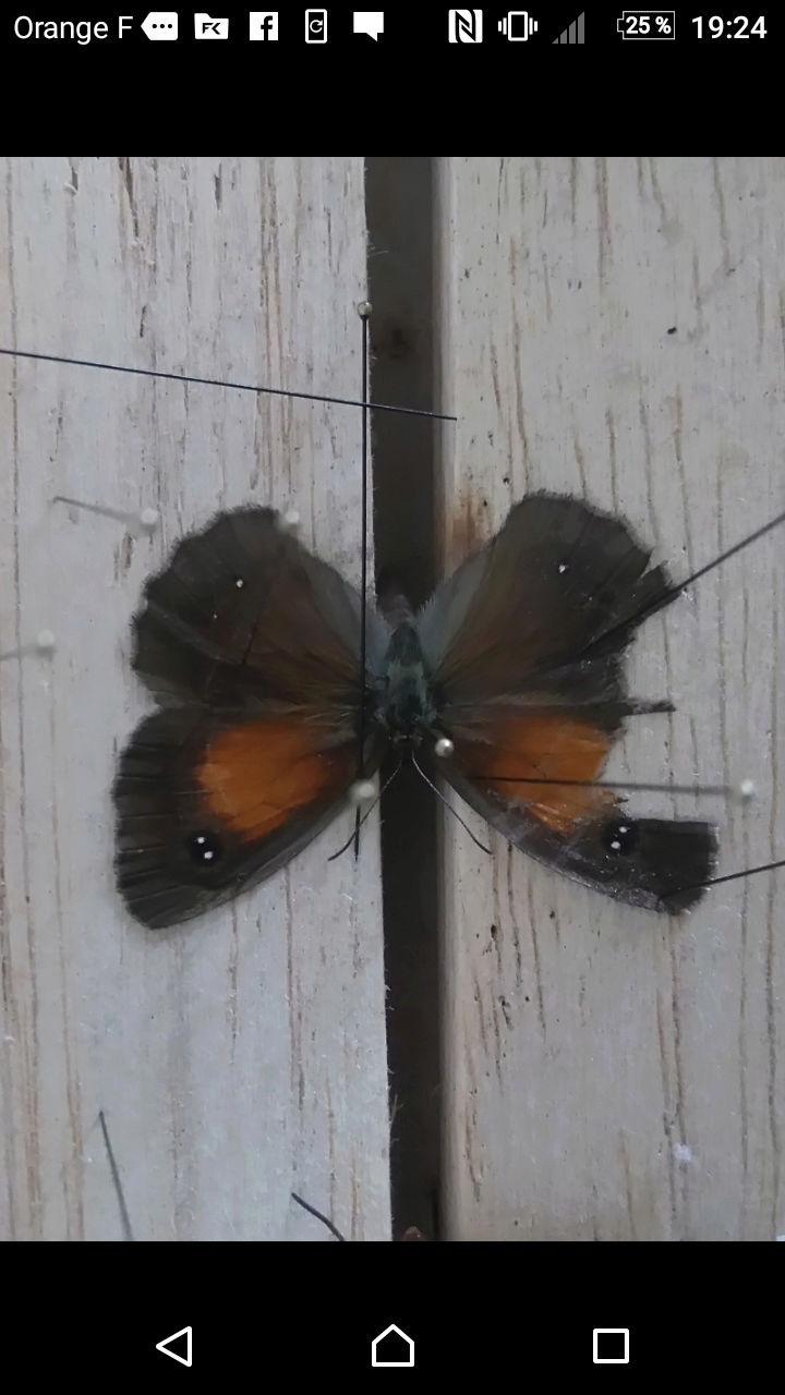 [Cupido argiades & Pyronia tithonus (aberrations)] Deux variétés pour le plaisir Screen12