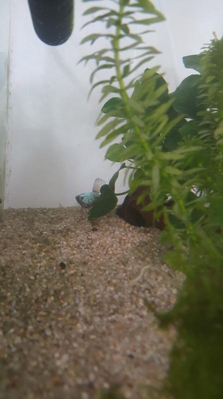 Mon aquarium pour mes 2 betta  20170812
