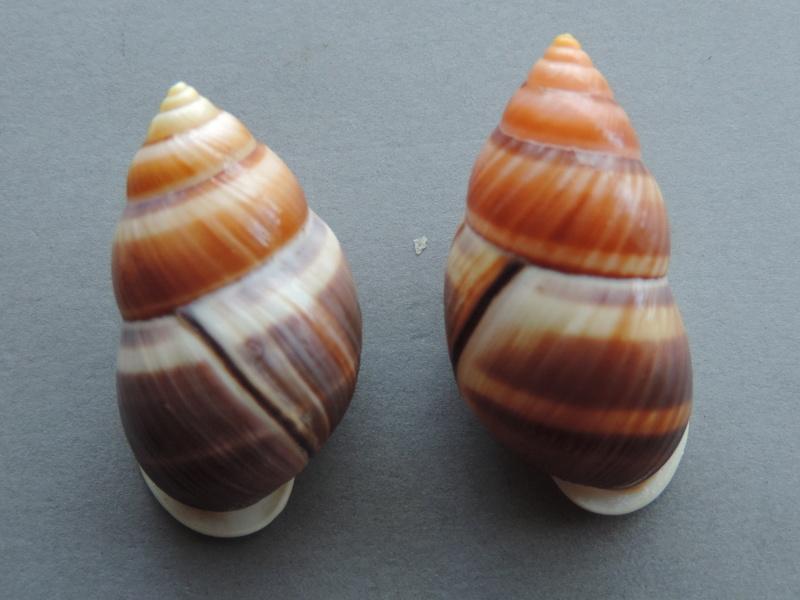 Amphidromus heerianus f. robustus (Fulton, 1896) Dscn9221