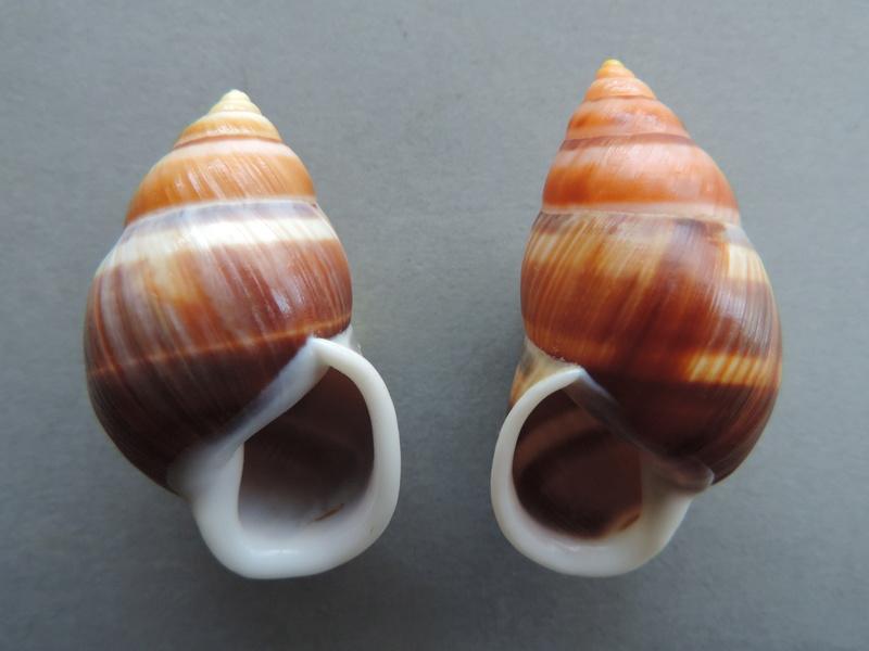 Amphidromus heerianus f. robustus (Fulton, 1896) Dscn9222