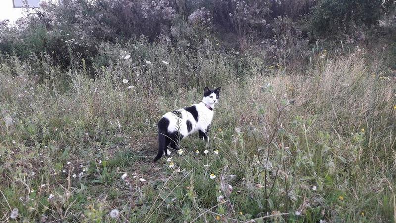 Malia, femelle type européen blanche et noire née 01/10/2016 20676710