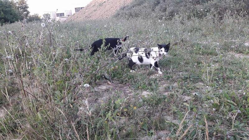 Malia, femelle type européen blanche et noire née 01/10/2016 20726810
