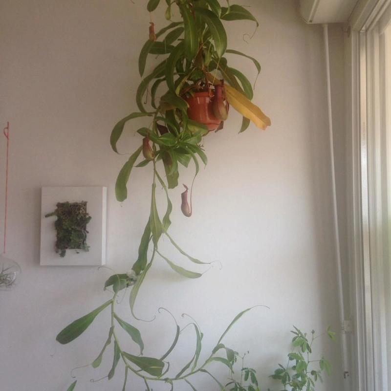 Nepenthes feuilles jaunissent 21369410
