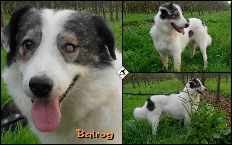 BALROG. Mâle croisé berger de Bucovine sorti de fourrière de Pascani (roumanie) en janvier 2014. Adopté par Claire MJ en Juin 2015 10251910