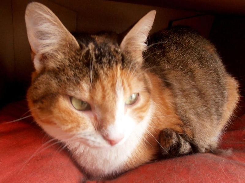 OLYMPE. Chatte tigré et blanc née en 2013 adoptée par Aline et Dimitri en Avril 2015 et SPEEDY type chartreux adopté en Septembre 2014. 10428410