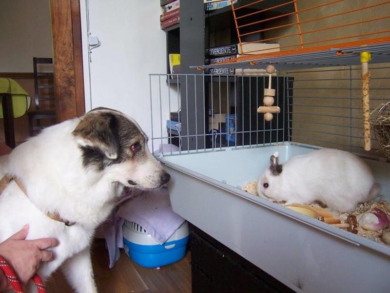 BALROG. Mâle croisé berger de Bucovine sorti de fourrière de Pascani (roumanie) en janvier 2014. Adopté par Claire MJ en Juin 2015 11059810