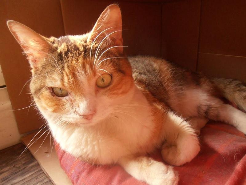 OLYMPE. Chatte tigré et blanc née en 2013 adoptée par Aline et Dimitri en Avril 2015 et SPEEDY type chartreux adopté en Septembre 2014. 11083610