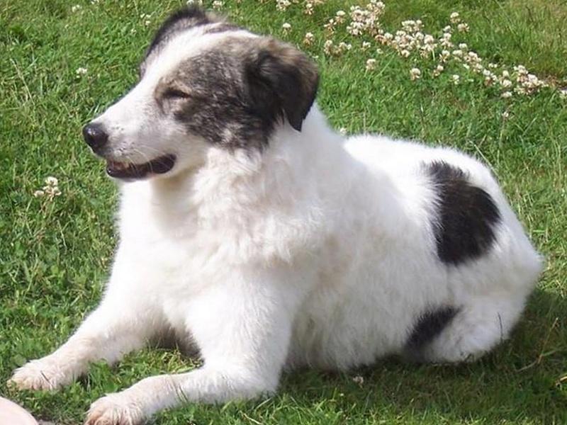 BALROG. Mâle croisé berger de Bucovine sorti de fourrière de Pascani (roumanie) en janvier 2014. Adopté par Claire MJ en Juin 2015 11350511