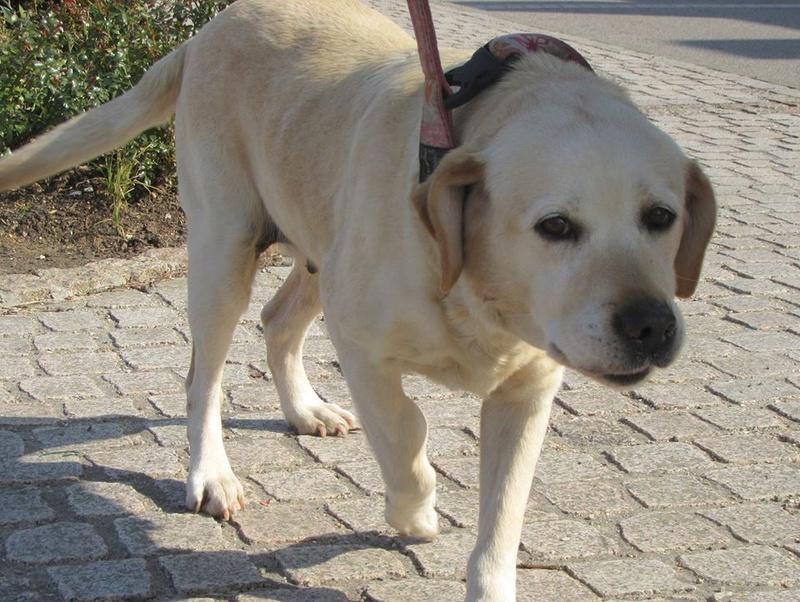 ASTRI Femelle labrador née Octobre en 2006  En panier retraite chez Elisabeth décédée en 05/2018 12472410