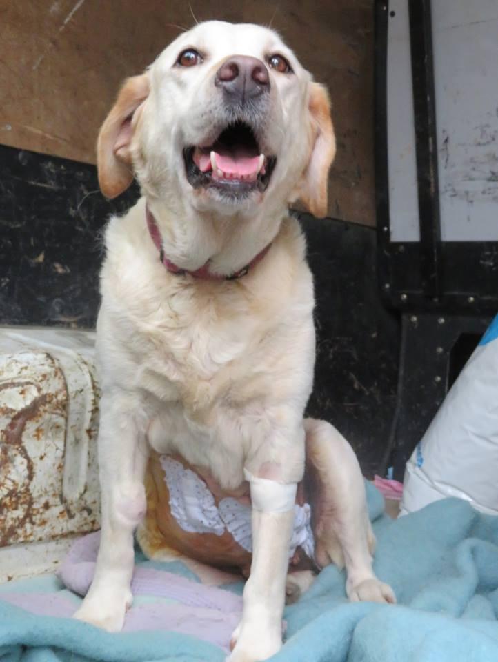 ASTRI Femelle labrador née Octobre en 2006  En panier retraite chez Elisabeth décédée en 05/2018 13221610