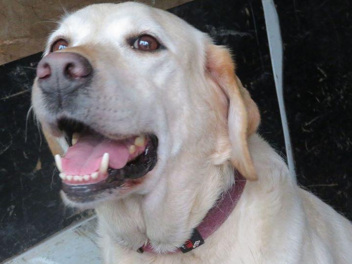 ASTRI Femelle labrador née Octobre en 2006  En panier retraite chez Elisabeth décédée en 05/2018 13247810