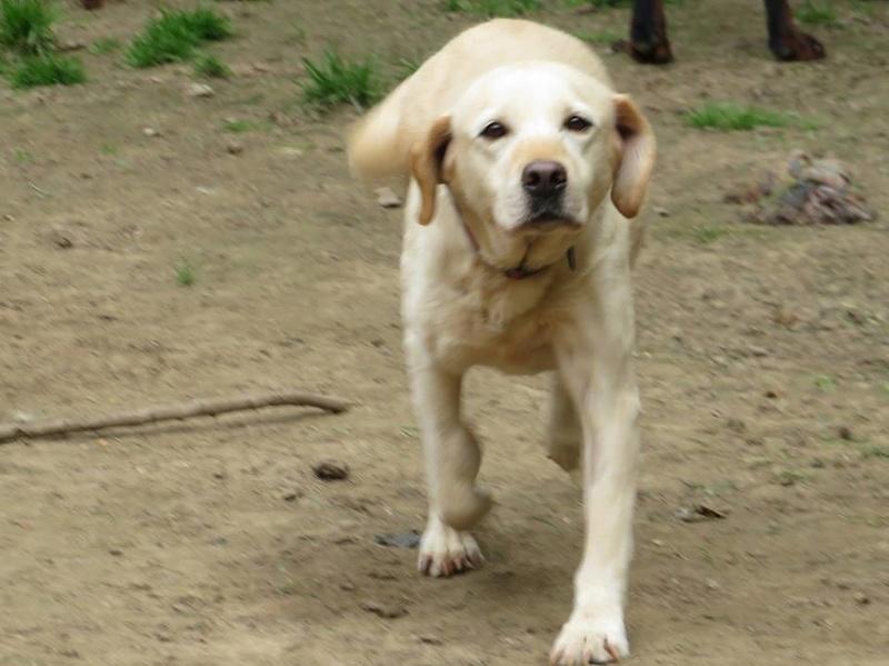 ASTRI Femelle labrador née Octobre en 2006  En panier retraite chez Elisabeth décédée en 05/2018 13445510