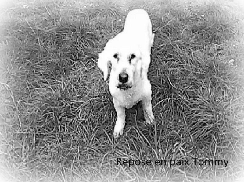 Repose en paix TOMY.  Mâle croisé bichon né en 2002, sorti de fourrière en Juillet 2016,  parti le 23 Septembre 2017 14355511