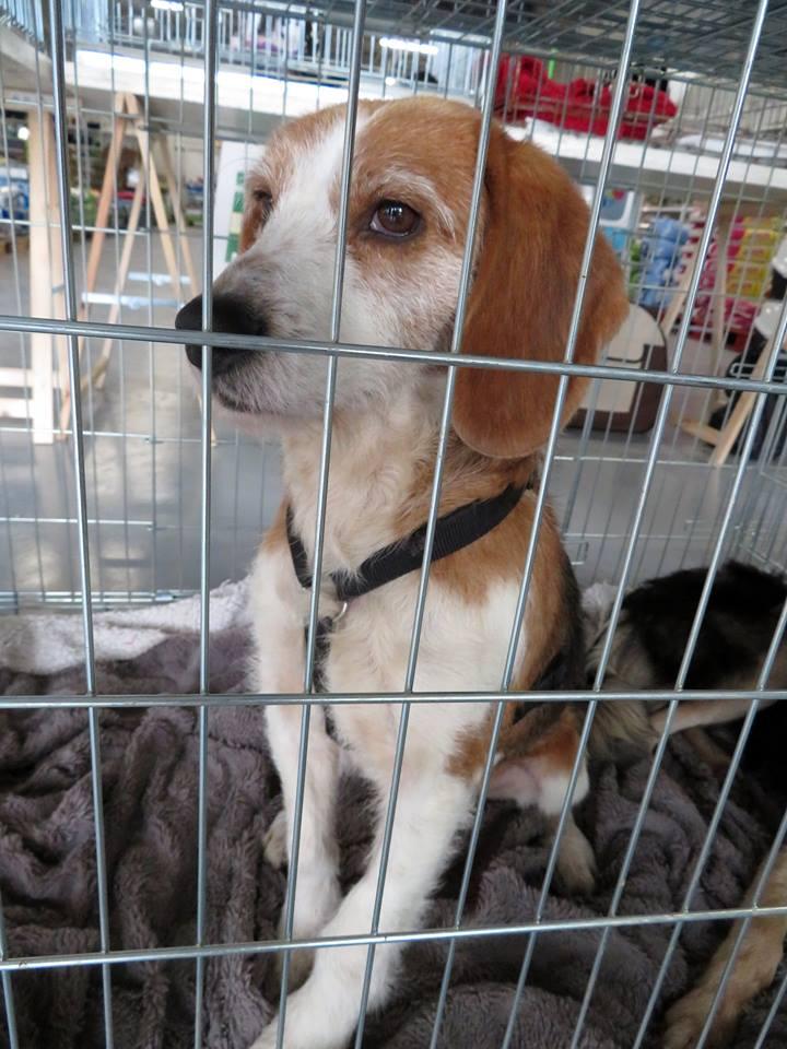 SKY mâle croisé Beagle/Fox né en 2010. Adopté par Pauline le 4 Fevrier 2018 15232211