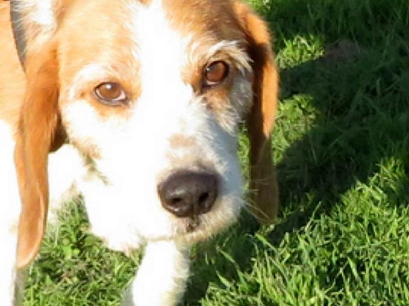 SKY mâle croisé Beagle/Fox né en 2010. Adopté par Pauline le 4 Fevrier 2018 15337410