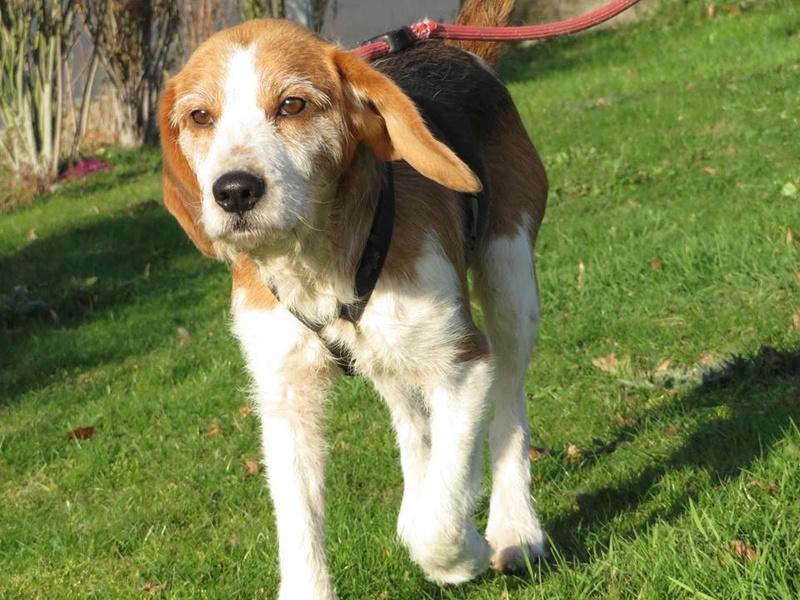 SKY mâle croisé Beagle/Fox né en 2010. Adopté par Pauline le 4 Fevrier 2018 15337510