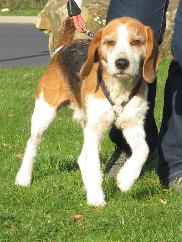 SKY mâle croisé Beagle/Fox né en 2010. Adopté par Pauline le 4 Fevrier 2018 15350410