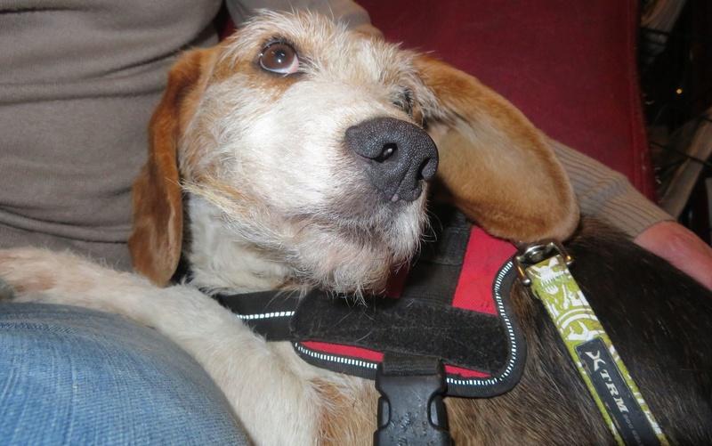 SKY mâle croisé Beagle/Fox né en 2010. Adopté par Pauline le 4 Fevrier 2018 16796910