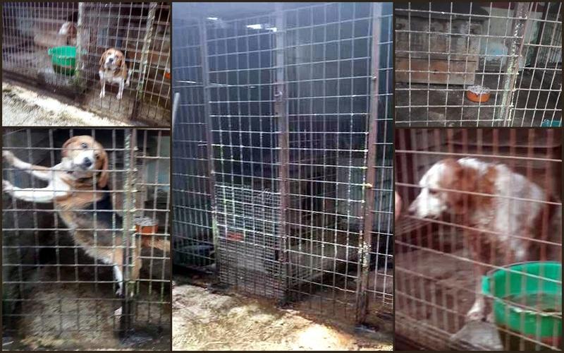 EMMY. Femelle type Beagle née en 2009. En panier retraite chez Patricia depuis Mai 2017.Recherche parrains/Marraines recherchés. 18402010