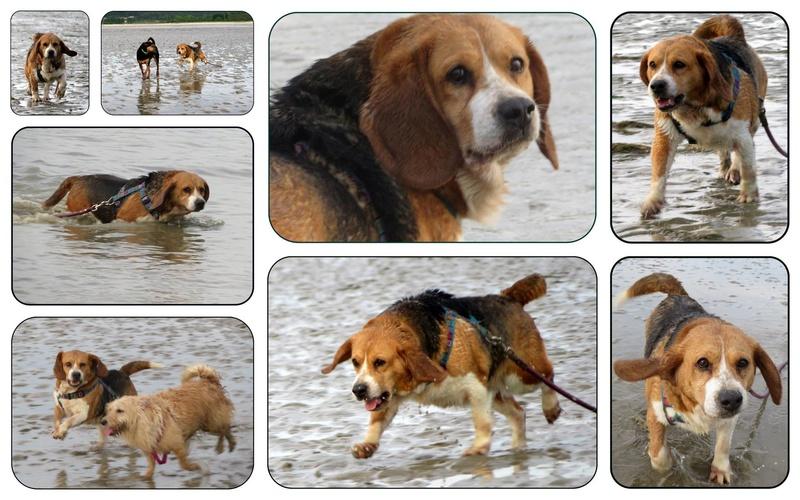 EMMY. Femelle type Beagle née en 2009. En panier retraite chez Patricia depuis Mai 2017.Recherche parrains/Marraines recherchés. 18451610
