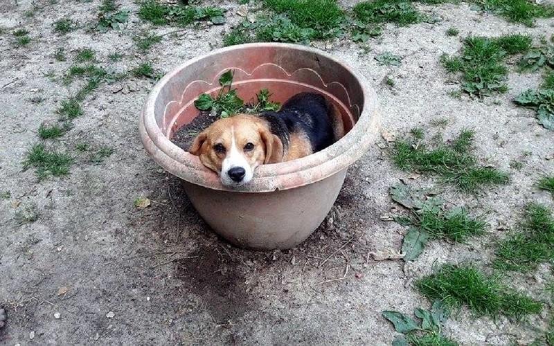 EMMY. Femelle type Beagle née en 2009. En panier retraite chez Patricia depuis Mai 2017.Recherche parrains/Marraines recherchés. 19095310