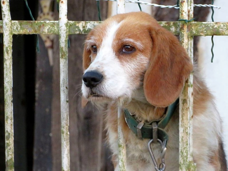 SKY mâle croisé Beagle/Fox né en 2010. Adopté par Pauline le 4 Fevrier 2018 19642610