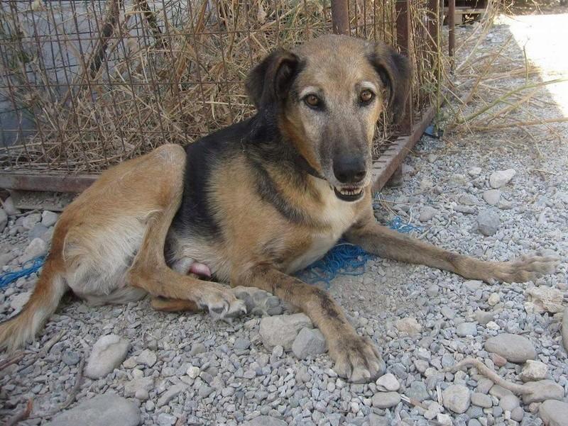 PEPE (refuge de Sitia)mâle croisé Berger né en 2007, à l'adoption en don libre (sénior) Parrainé par Claire 21147110