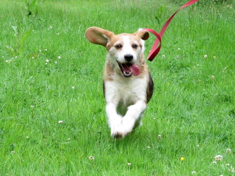 SKY mâle croisé Beagle/Fox né en 2010. Adopté par Pauline le 4 Fevrier 2018 35510