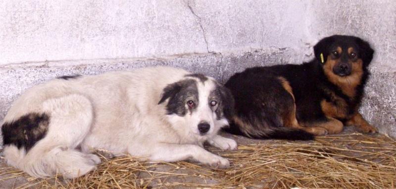 BALROG. Mâle croisé berger de Bucovine sorti de fourrière de Pascani (roumanie) en janvier 2014. Adopté par Claire MJ en Juin 2015 Balrog10