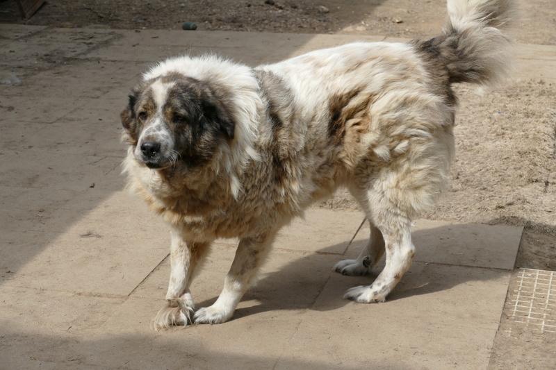 THOR. Mâle croisé gros Berger né en 2005. A l'adoption en don libre (sénior) P1000815