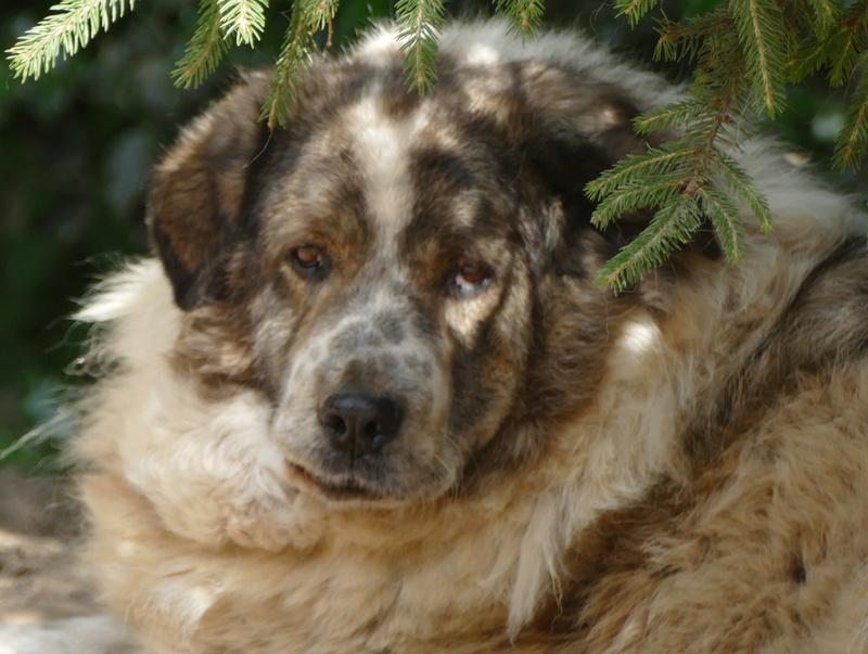 THOR. Mâle croisé gros Berger né en 2005. A l'adoption en don libre (sénior) P1000915