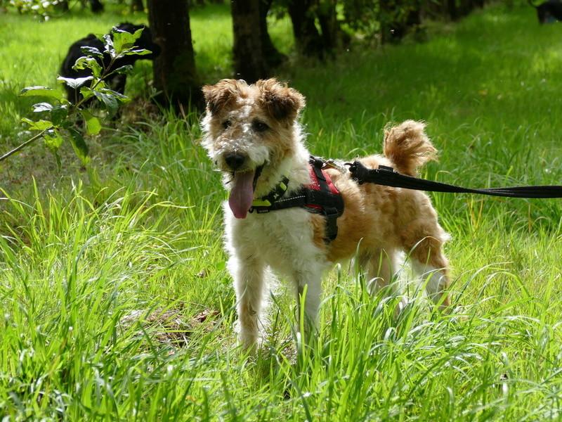 SIRIUS. Mâle fox terrier né en 2007. Adopté en 10/2018  P1060512